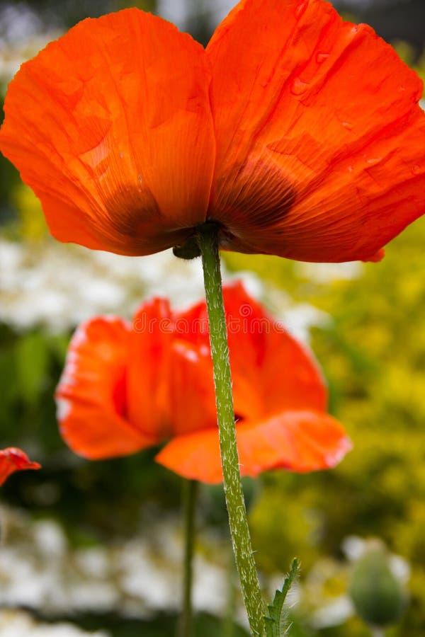 Amapolas rojas brillantes en un día de verano soleado fotos de archivo libres de regalías