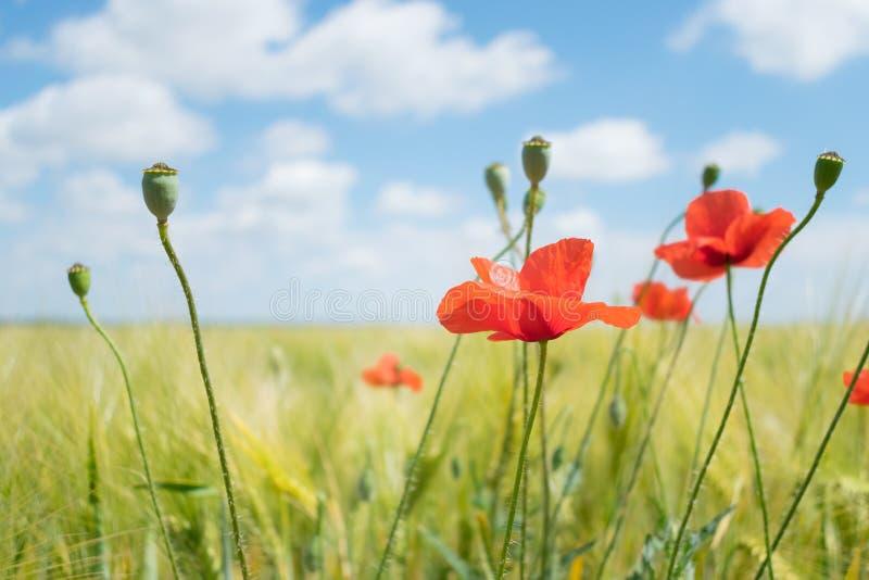 Amapolas rojas brillantes hermosas con la hierba verde y las hojas en fotos de archivo