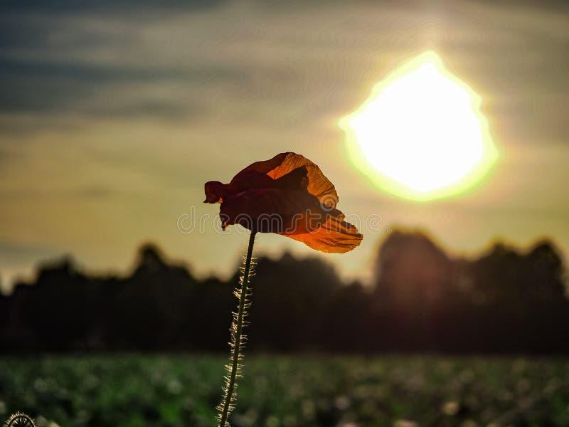 Amapolas rojas con el sol fotografía de archivo