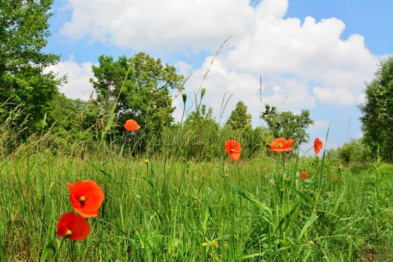 Amapolas rojas e hierba verde, paisaje hermoso foto de archivo