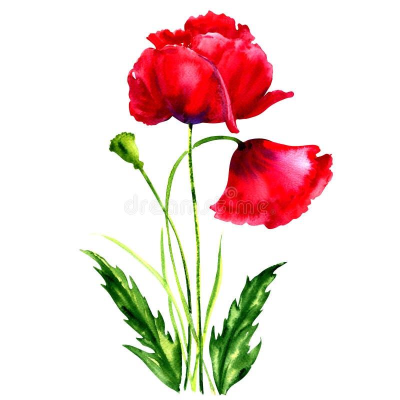 Amapolas rojas, ejemplo de la acuarela stock de ilustración