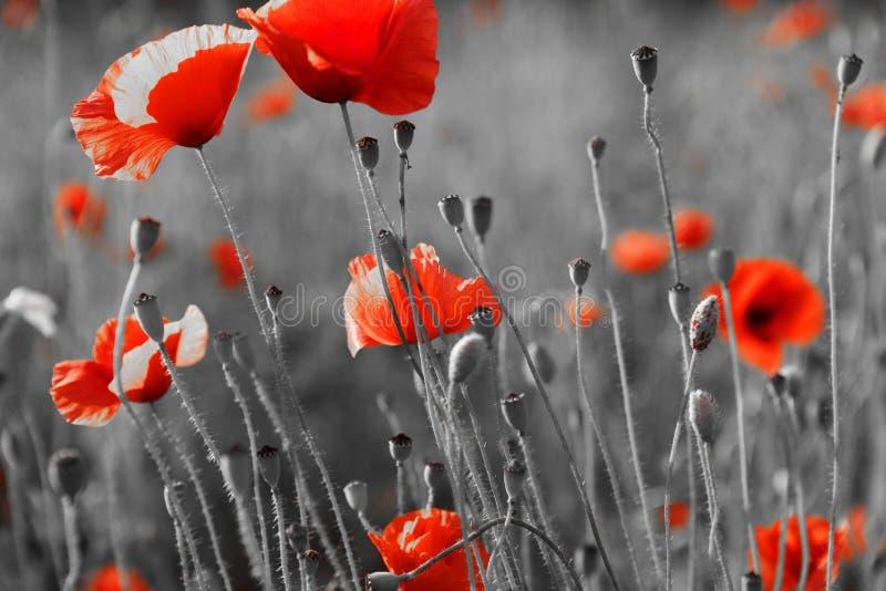 Amapolas rojas en campo fotos de archivo libres de regalías
