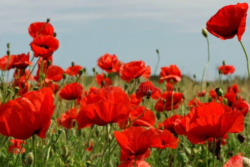Amapolas rojas en día soleado imagenes de archivo