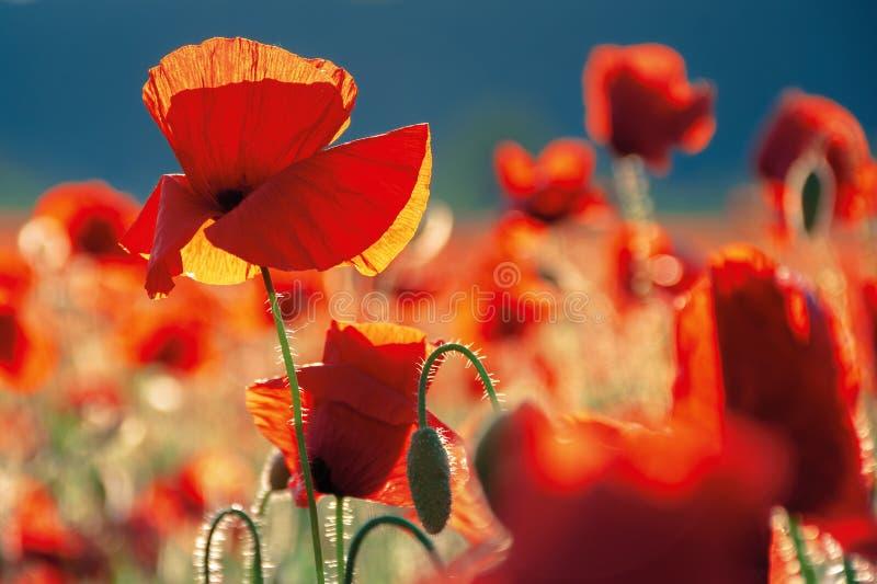 Amapolas rojas en el campo en la igualación de la luz imagen de archivo