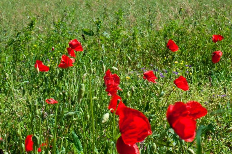 Amapolas rojas en Toscana foto de archivo libre de regalías