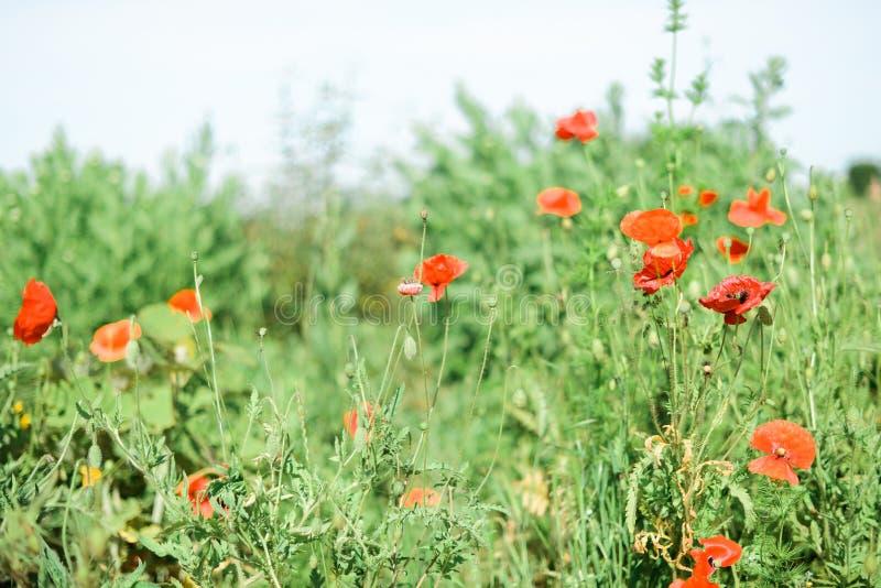 Amapolas rojas en un jardín francés fotografía de archivo