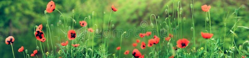 Amapolas rojas florecientes en campo en primavera en naturaleza en fondo floral de la hierba verde con el foco suave Foto con el  fotografía de archivo libre de regalías