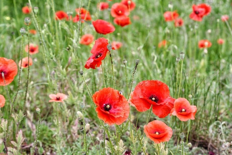 Amapolas rojas florecientes fotografía de archivo libre de regalías