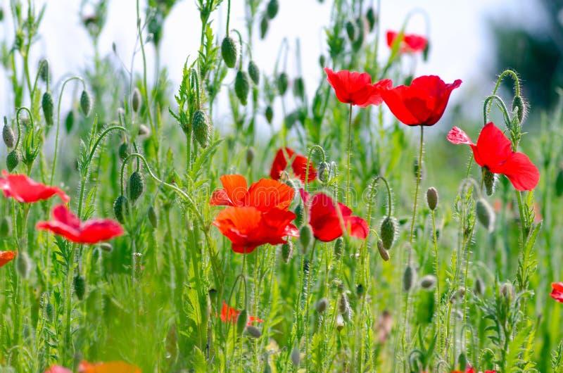 Amapolas rojas hermosas en un prado del verano, brotes de amapolas, un símbolo de la victoria imagenes de archivo