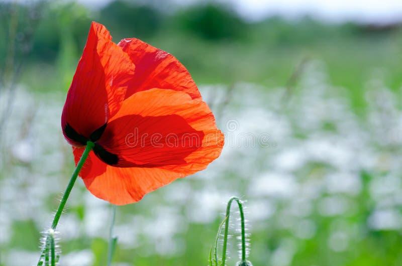 Amapolas rojas hermosas en un prado del verano, brotes de amapolas, un símbolo de la victoria fotografía de archivo libre de regalías