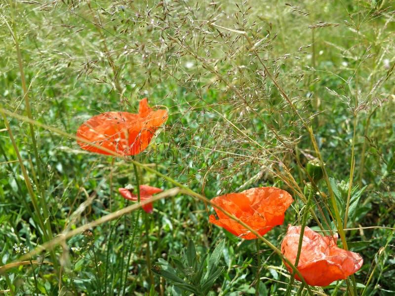 Amapolas rojas hermosas entre hierba del verano imagenes de archivo