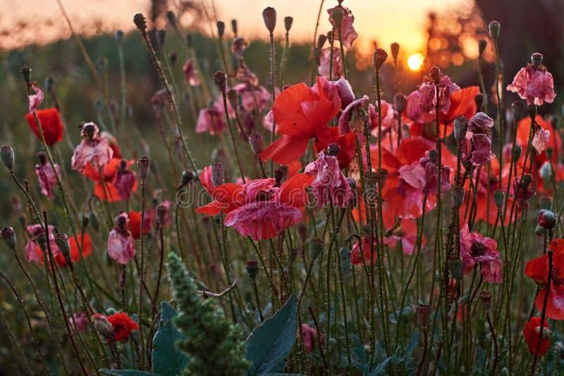 Amapolas rojas. Profundidad salvaje roja iluminada por el sol de Poppy Are Shot With Shallow de la agudeza en un fondo de un campo fotografía de archivo libre de regalías