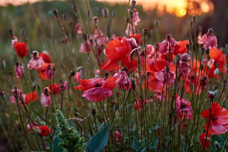 Amapolas rojas. Profundidad salvaje roja iluminada por el sol de Poppy Are Shot With Shallow de la agudeza en un fondo de un campo imagenes de archivo