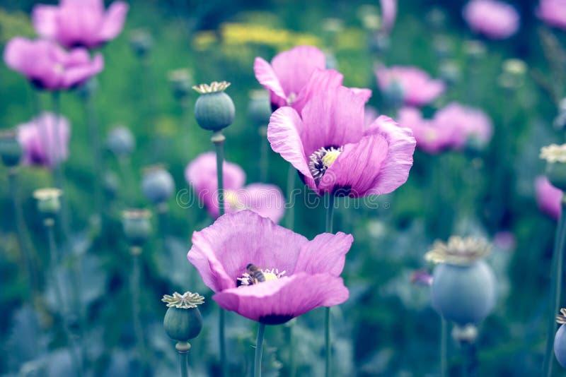 Amapolas rosadas florecientes fotografía de archivo libre de regalías