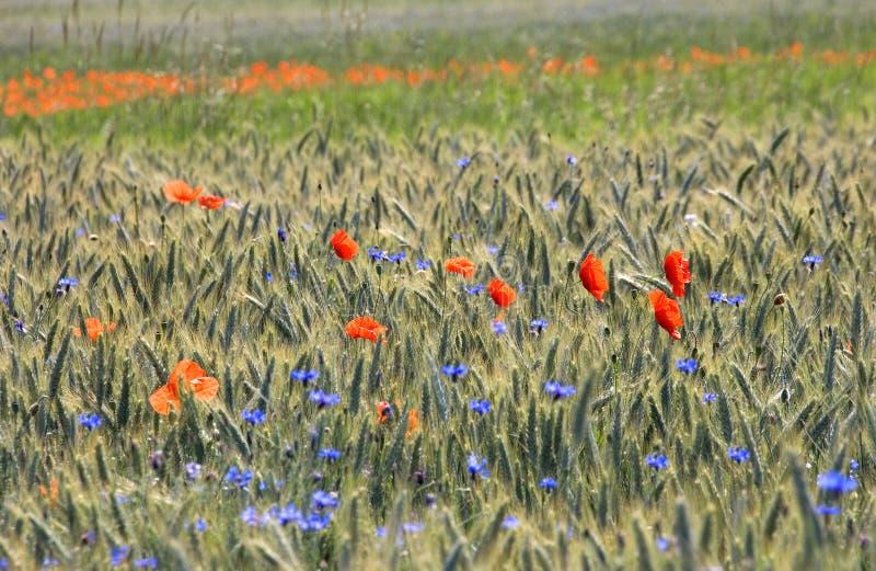 Amapolas y Cornflowers foto de archivo