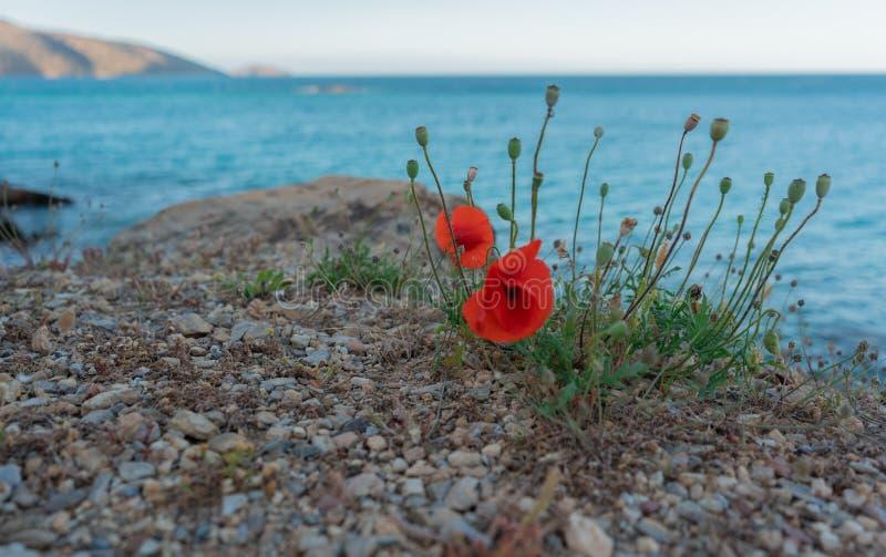 Amapolas y flores contra el mar imagen de archivo