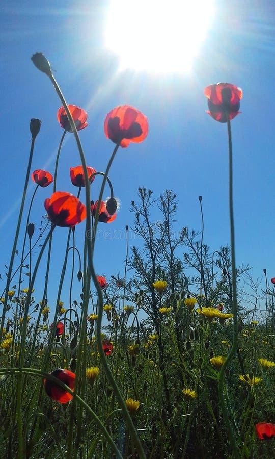 Amapolas y sol foto de archivo libre de regalías