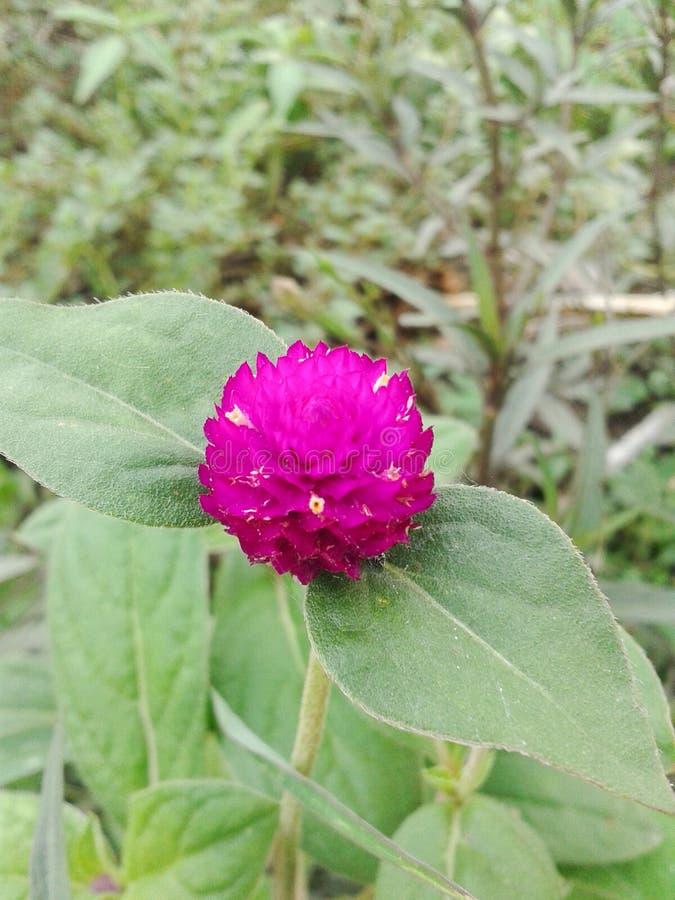 Amarant-Blume stockfotos