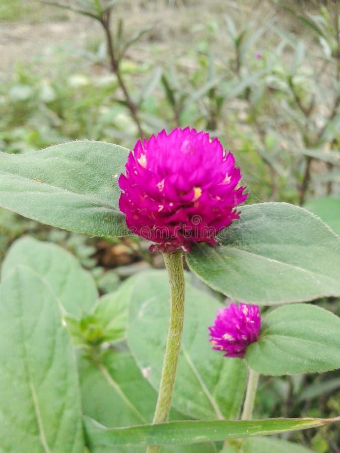 Amarant-Blume stockfotografie