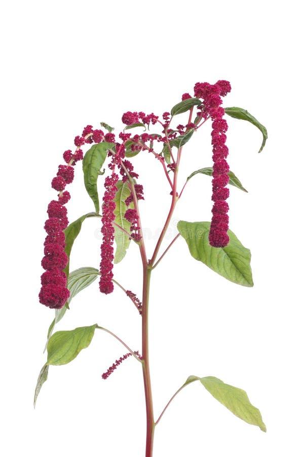 Amaranth flowers isolated stock images