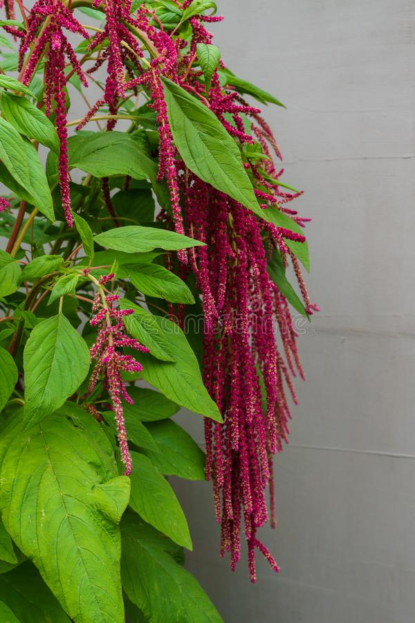 Amaranth is grown as leafy vegetables, cereals and ornamental plants in South America. Amaranth seeds are a rich source of. Proteins and amino acids. They stock photos