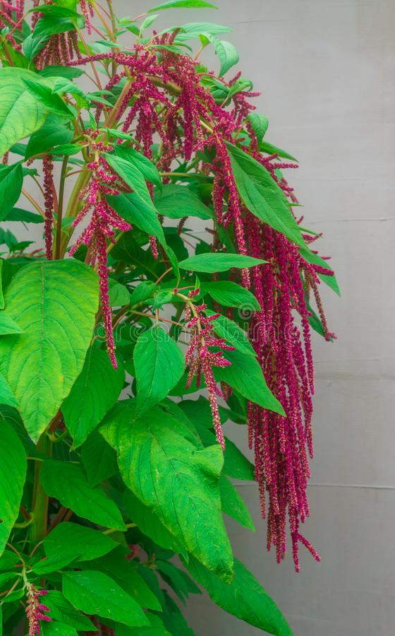 Amaranth is grown as leafy vegetables, cereals and ornamental plants in South America. Amaranth seeds are a rich source of. Proteins and amino acids. They royalty free stock photos