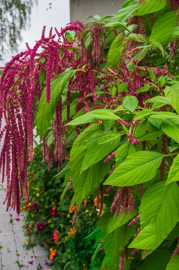 Amaranth is grown as leafy vegetables, cereals and ornamental plants in South America. Amaranth seeds are a rich source of. Proteins and amino acids. They stock image