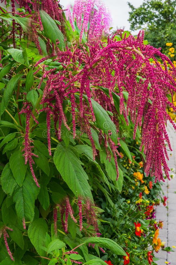 Amaranth is grown as leafy vegetables, cereals and ornamental plants in South America. Amaranth seeds are a rich source of. Proteins and amino acids. They stock photo