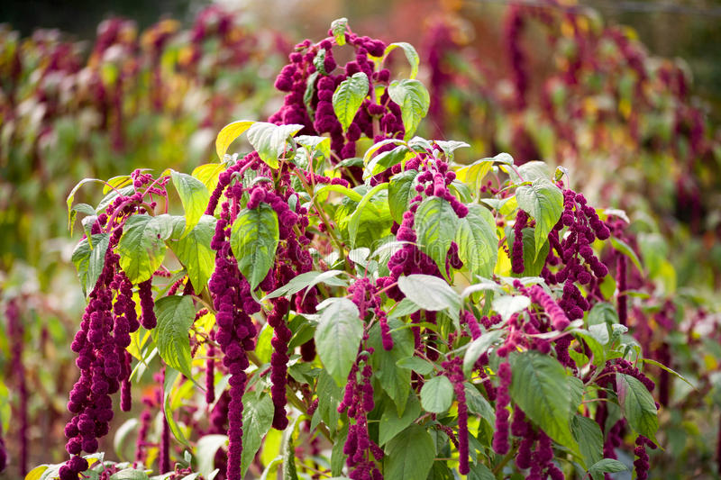 Amaranth. Organic amaranth in the garden royalty free stock images