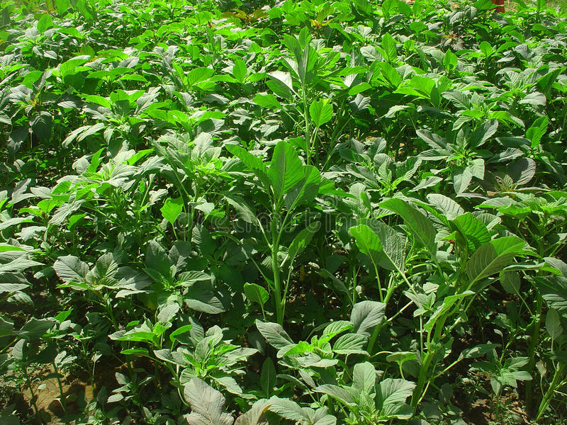 Amaranth Plant. Amaranth is a well known vegetable used in cooking and many parts of the world stock photos