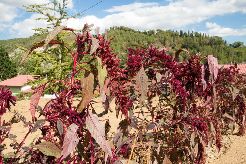 Amaranth. A row of amaranth grown stock images