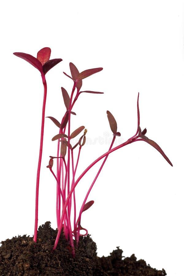 Download Amaranth seedling stock photo. Image of germinate, nature - 13293798