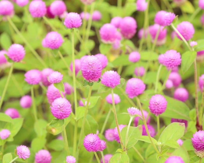 Amaranthe de globe ou fleur de globosa de Gomphrena photographie stock