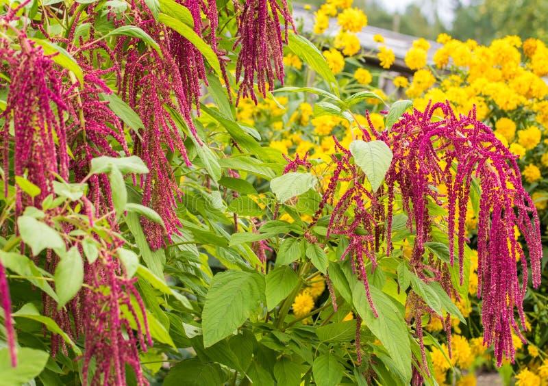 Amaranthen odlas som bladgr?nsaker, s?desslag och dekorativa v?xter fotografering för bildbyråer