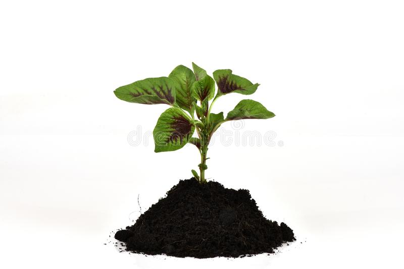 Amaranthus caudatus L , gli ortaggi a foglia rossi hanno proprietà medicinali immagini stock