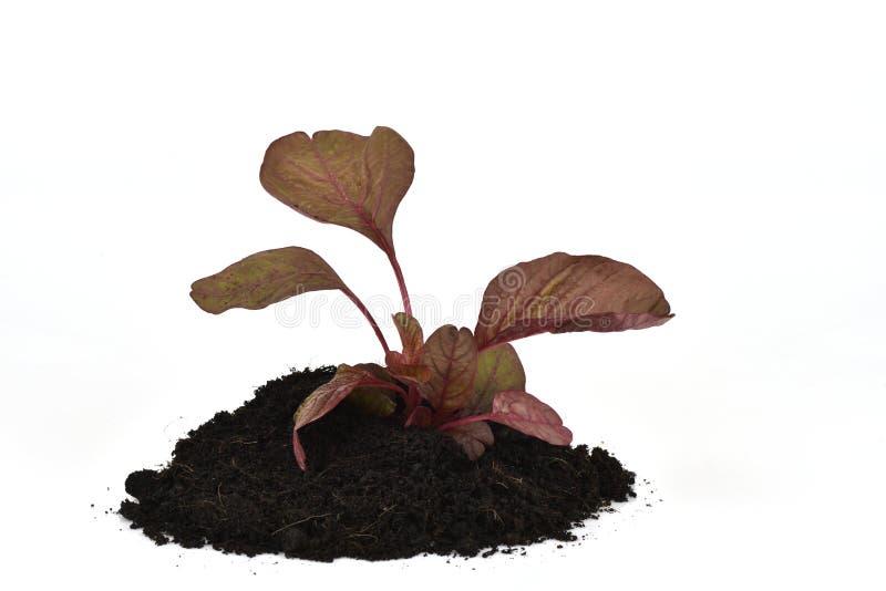 Amaranthus caudatus L , gli ortaggi a foglia rossi hanno proprietà medicinali fotografia stock