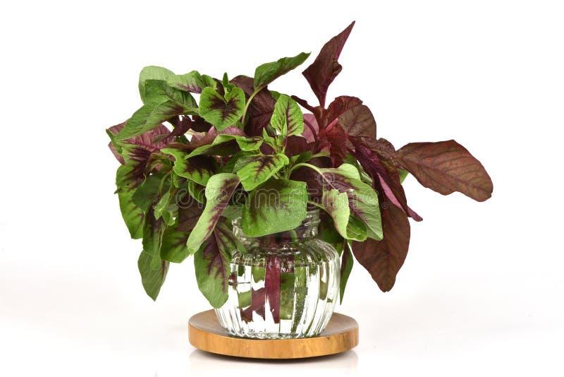 Amaranthus caudatus L , gli ortaggi a foglia rossi hanno proprietà medicinali fotografia stock libera da diritti
