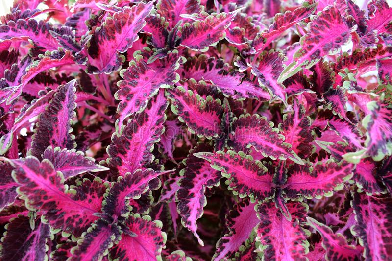 Amaranthus cruentus royalty-vrije stock fotografie