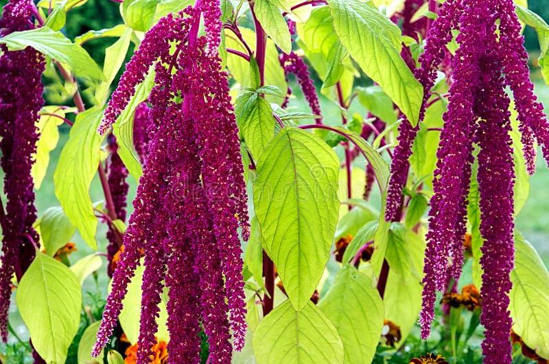 Amaranthus de bloemen van Caudatus royalty-vrije stock afbeeldingen