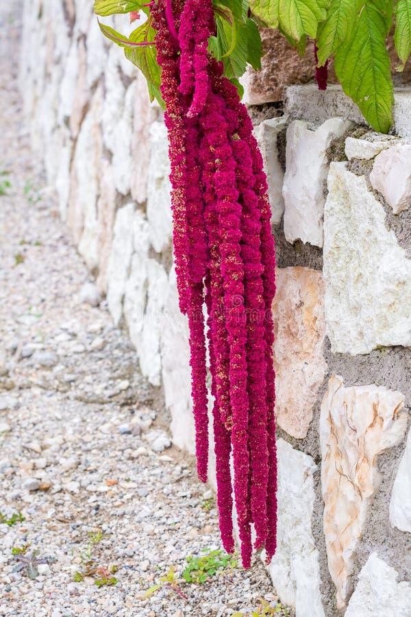 Amaranthus de bloemen van Caudatus, als Liefde worden bekend die ligt Aftappend Rode decoratieve amarant op de straattuin stock afbeelding