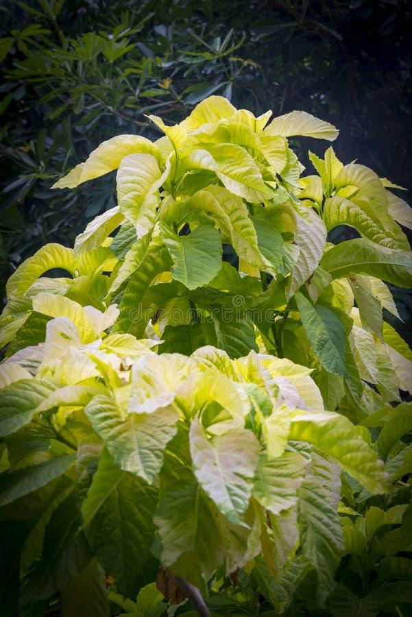 Amaranthus tricolor `Early Splendor` stock image