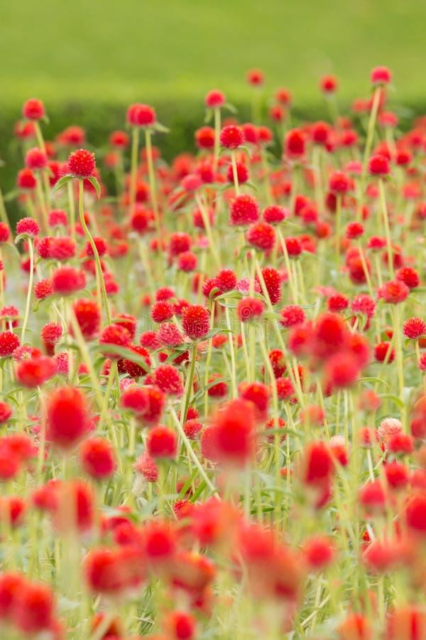 Amaranto de globo ou botão vermelho do licenciado fotografia de stock
