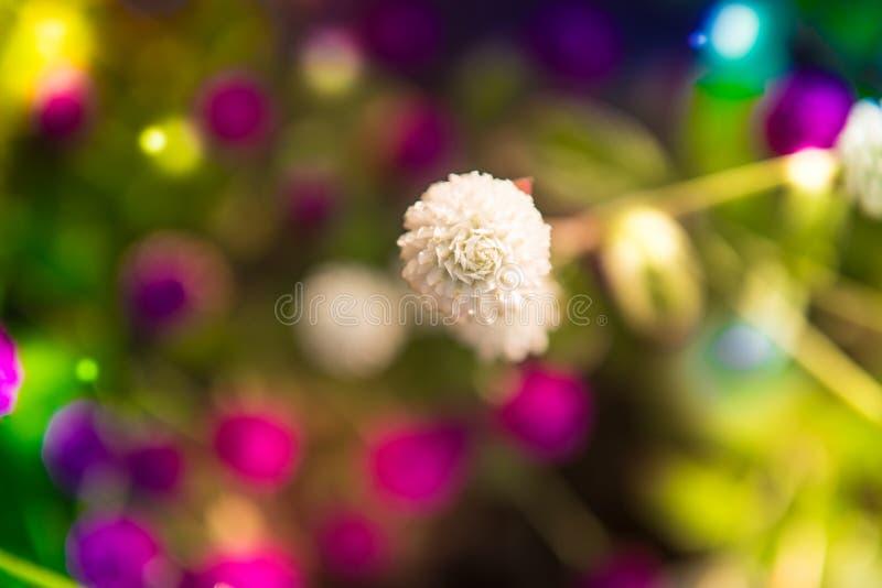 Amaranto de globo ou globosa branco do Gomphrena fotos de stock