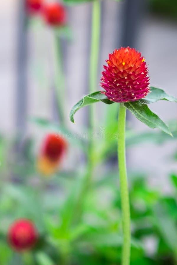 Amaranto de globo vermelho, uma flor espessa, peludo-com folhas foto de stock