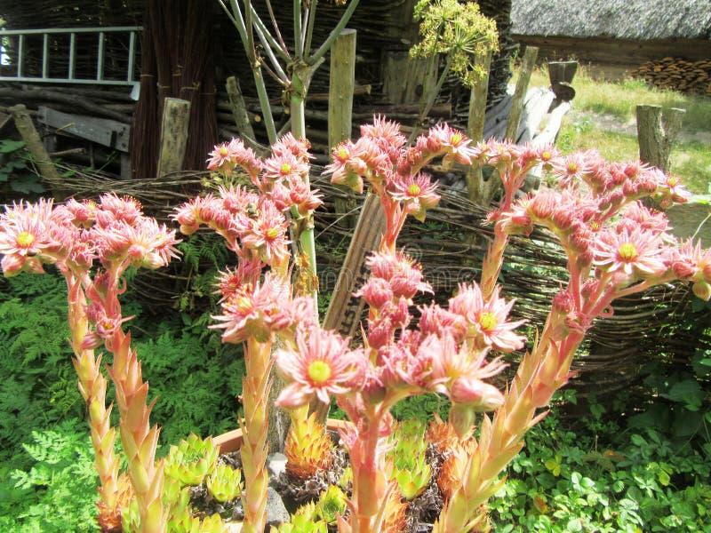 amaranto en el pueblo del museo de Dueppel fotos de archivo