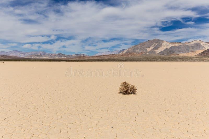 Amaranto sul letto di lago asciutto in deserto fotografia stock libera da diritti