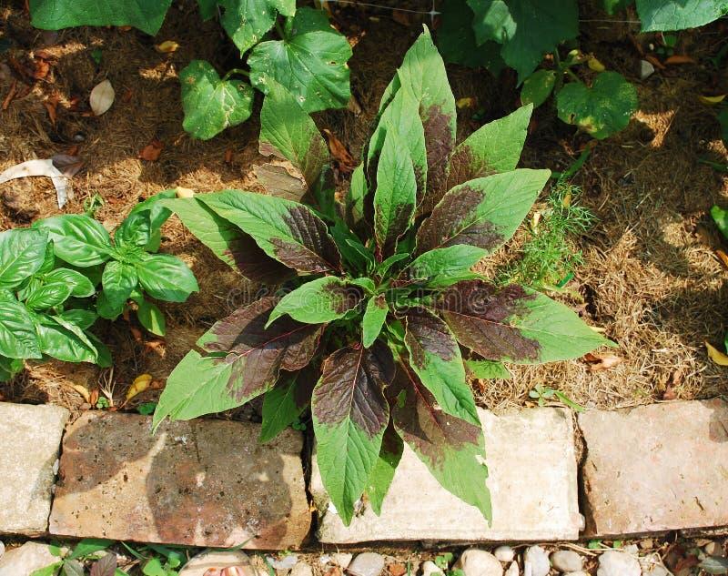 Amarantus tricolore images libres de droits
