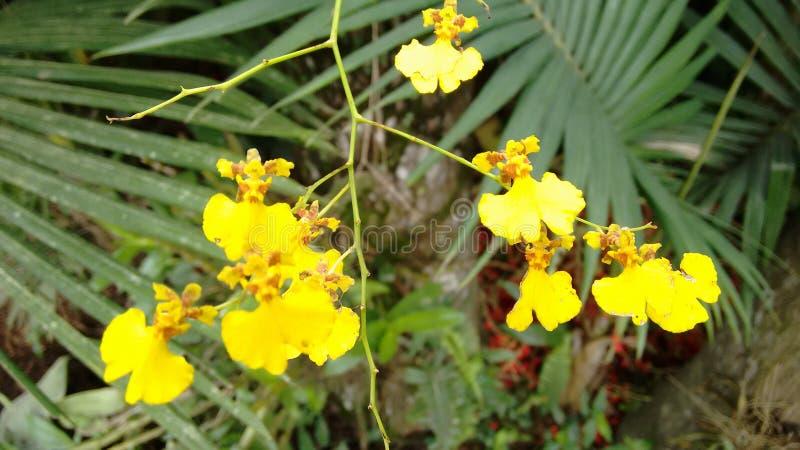 Amarela de Flor imagen de archivo