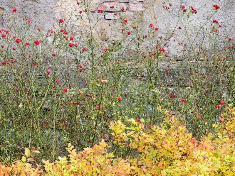 Amarelar de florescência das rosas e do spirea dos arbustos imagem de stock royalty free