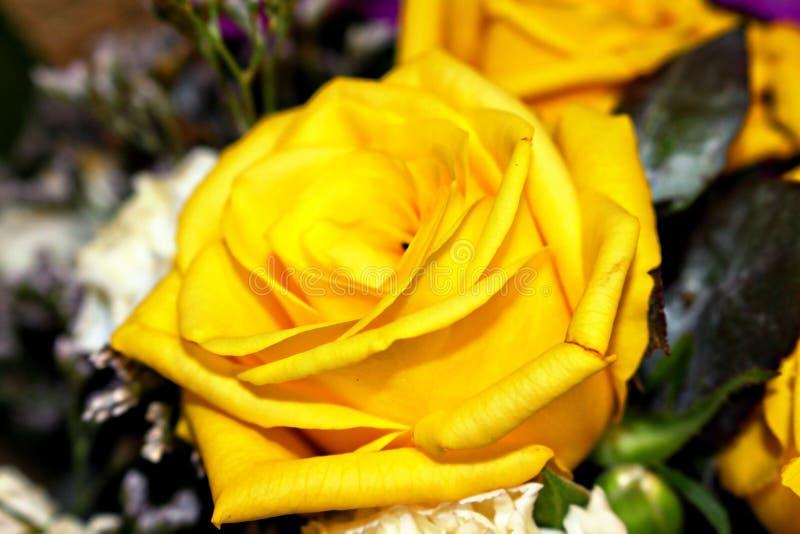 Amarele cor-de-rosa imagem de stock